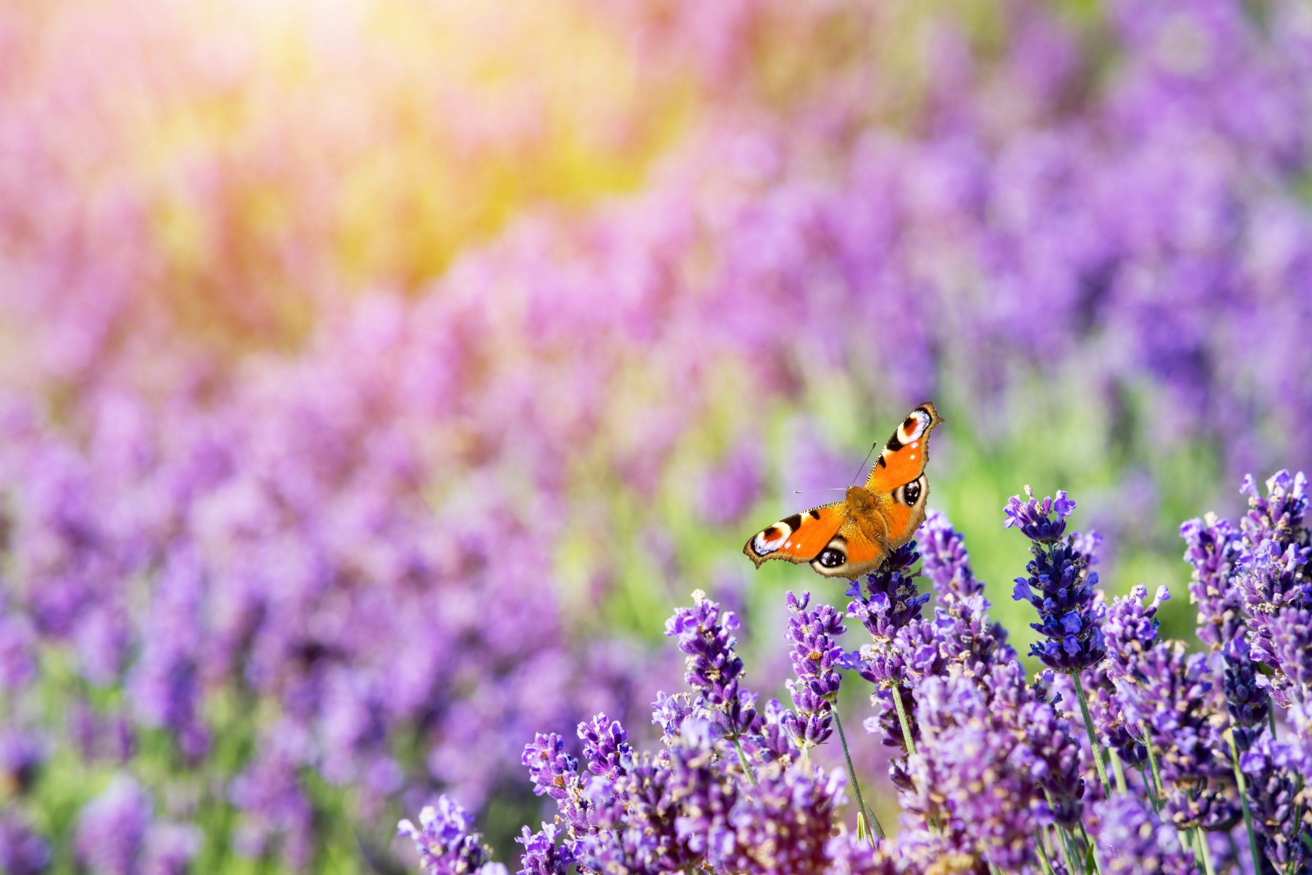 butterfly-sitting-on-lavender-flower-PWEDHCD-scaled.jpg